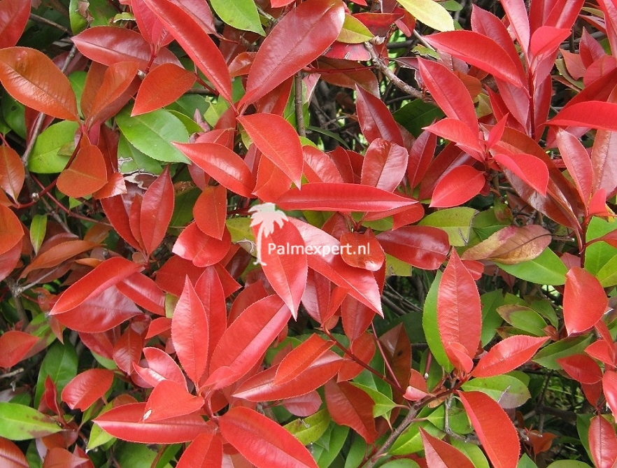 Photinia fraseri Red Robin multistammen.