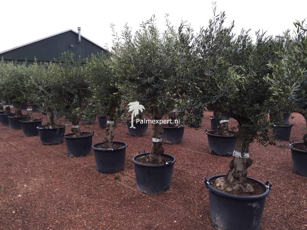 Olijfboom 40/60 Lechin, de meest winterharde variëteit olijfboom.