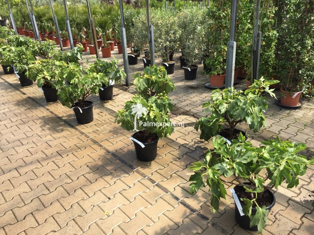 Vijgenboom struik 60/80 cm (Ficus carica)