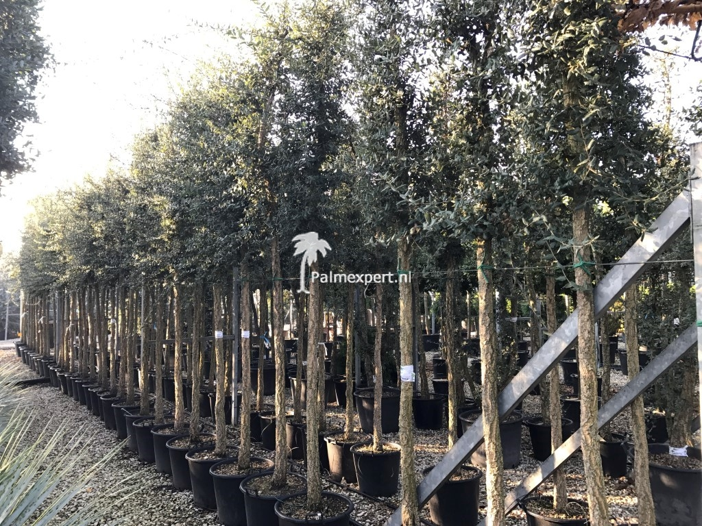 Quercus suber / Kurkeik 18/20 stamomtrek