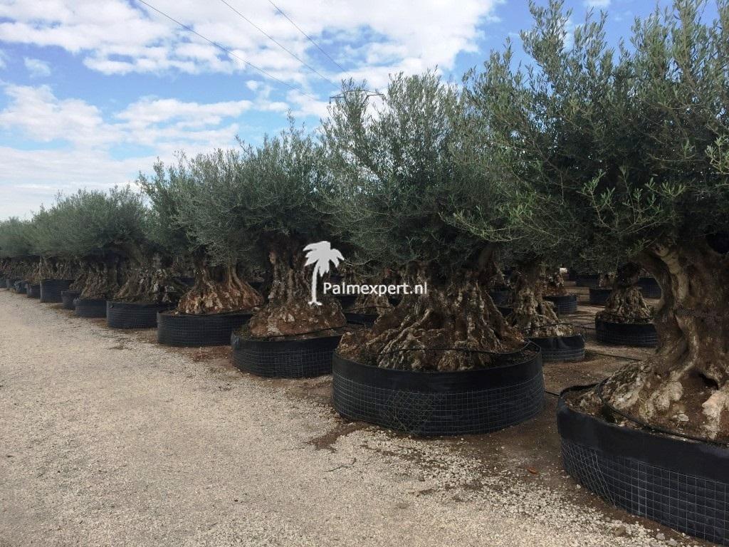 Olijfboom bonsai Lechin  300 cm+ stamomtrek