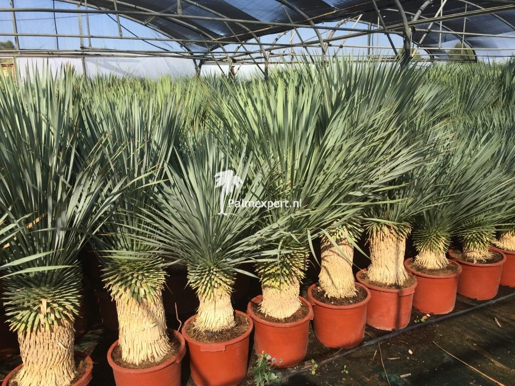 Yucca rostrata 30/40 cm stam