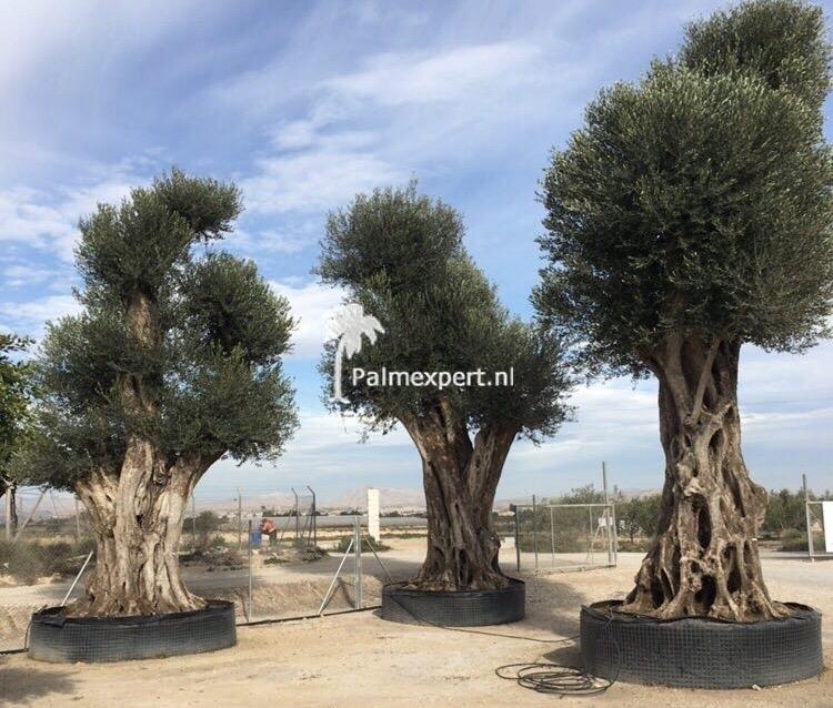Olijfboom mega 5-7 meter