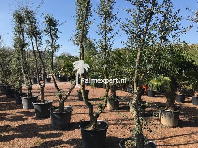 Quercus suber / Kurkeik solitair