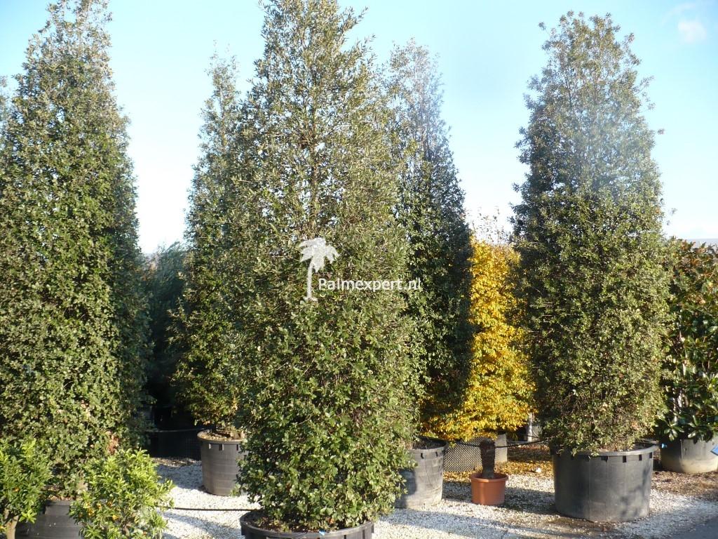 Steeneik zuil 450/500 cm