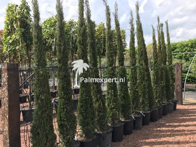 Cupressus sempervirens  (cipressen)