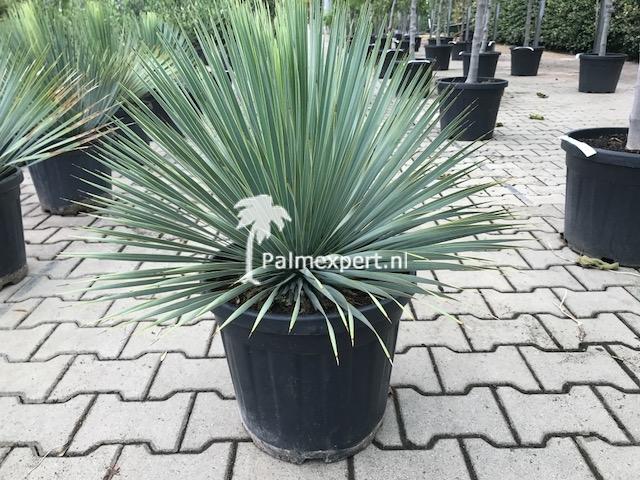 Yucca rostrata 40/60 cm