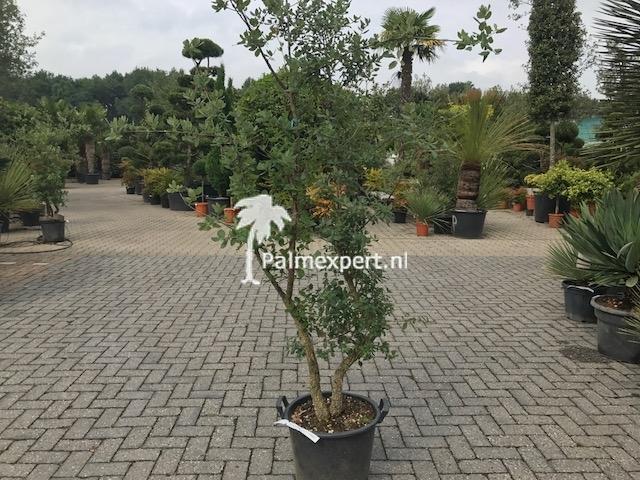 Quercus suber / Kurkeik struik