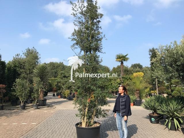 Quercus suber / Kurkeik multistam