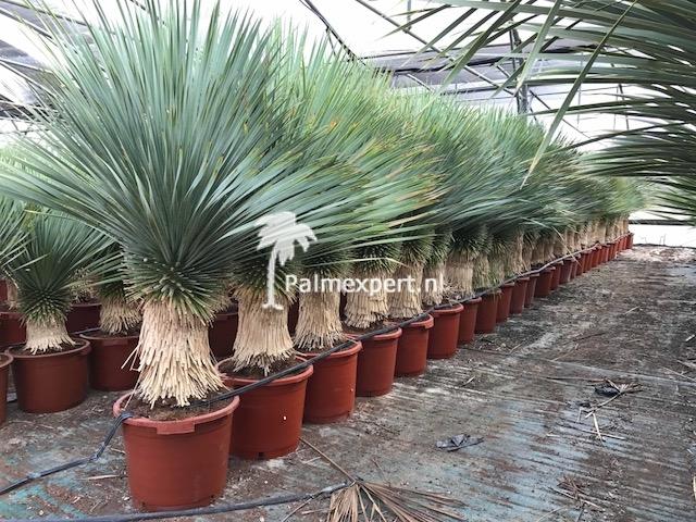 Yucca Rostrata kopen?