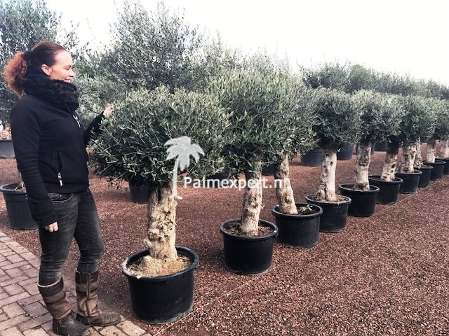 Olijfboom 40/60 cm stamomtrek  bolvorm.