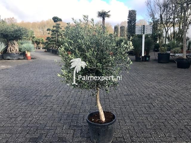 Olijfboom 10-15 cm stamomtrek  vertakt laag.