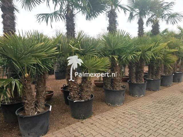 Trachycarpus fortunei multistammen