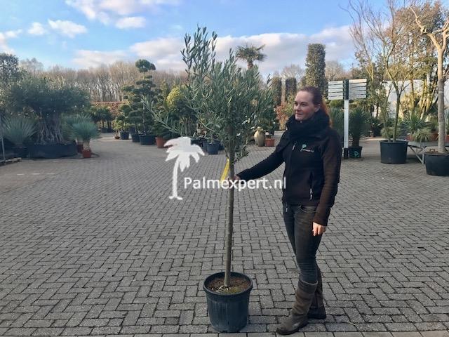 Olijfboom 10-12 cm stamomtrek