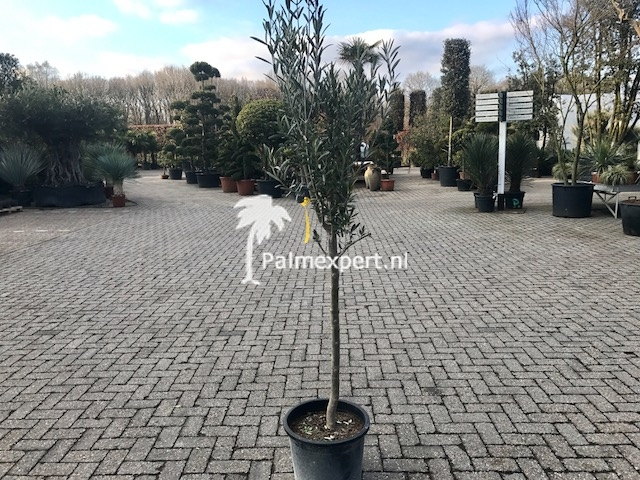 Olijfboom 12-14 cm stamomtrek