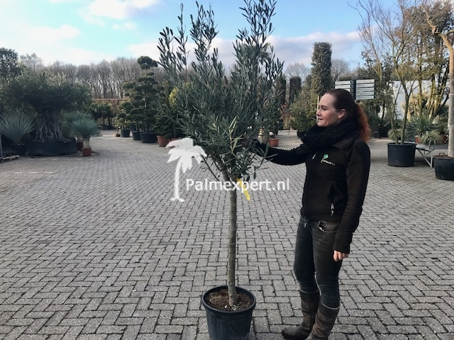 Olijfboom 14-16 cm stamomtrek.