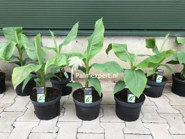 Musa basjoo (banaan, bananenplant)