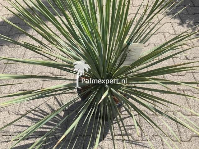Yucca rostrata 30/40 cm