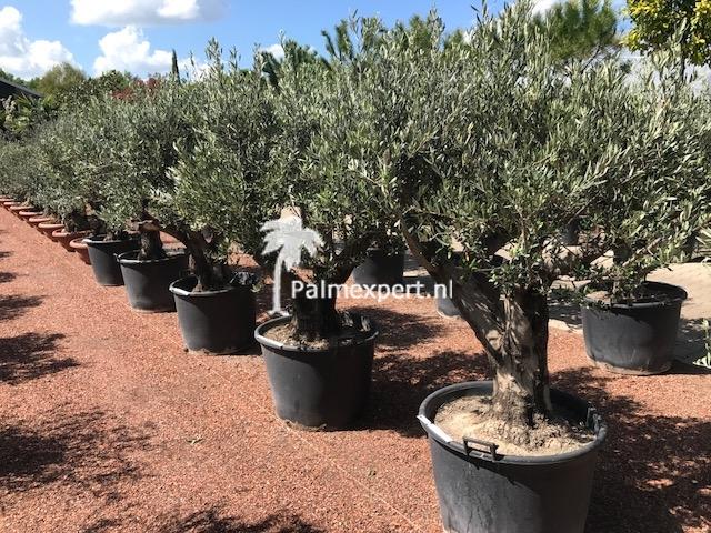 Olijfboom 60/80 laag vertakt