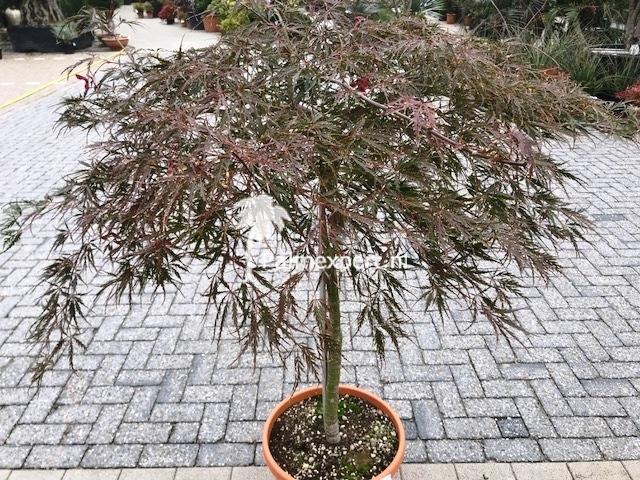 Acer palmatum diss. Inaba-Shidare