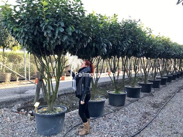Meerstammige Prunus laurocerasus Novita