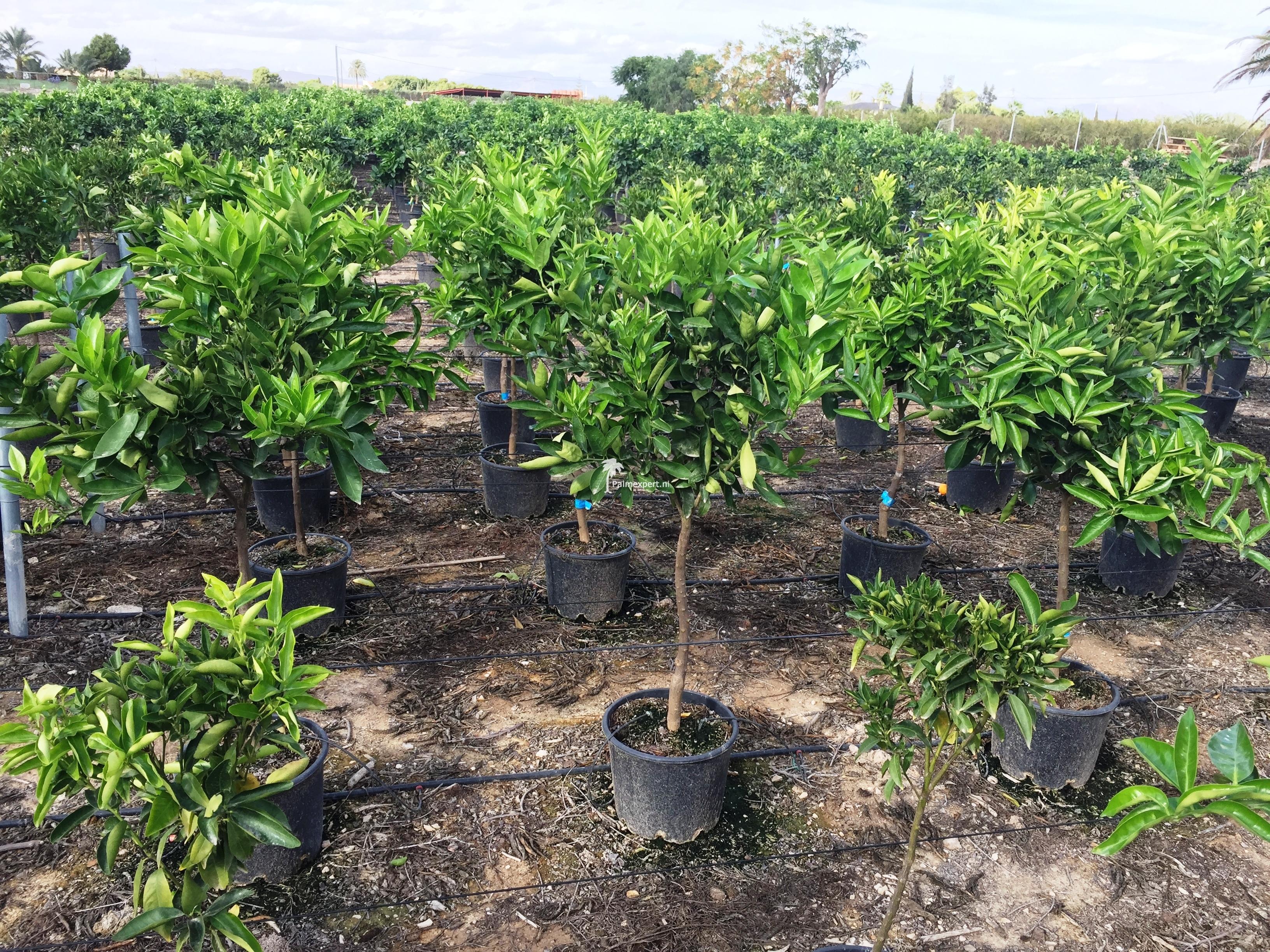 Citrus sinensis (sinaasappelboom)