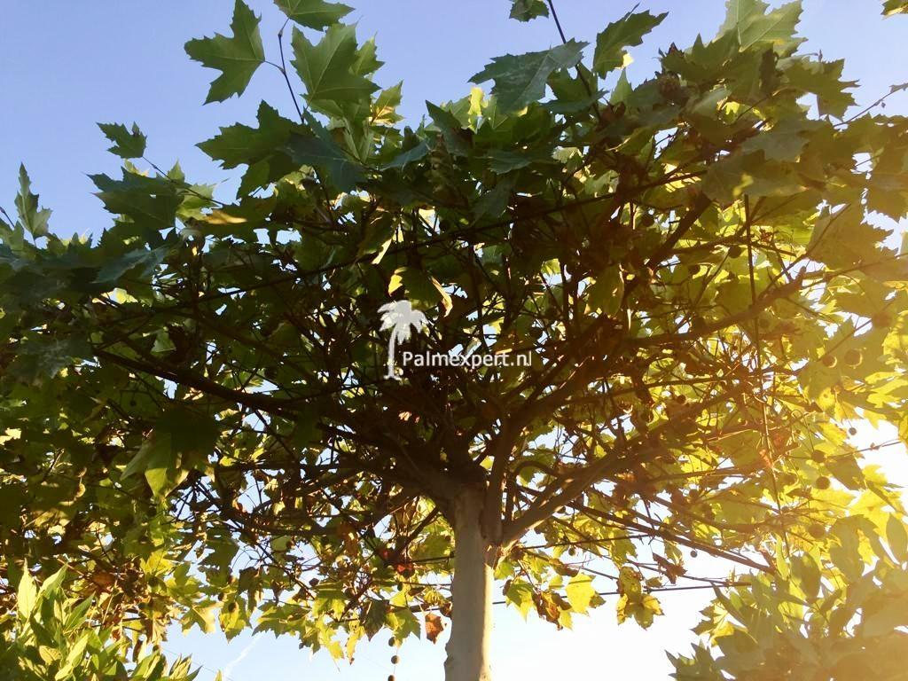 Platanus acerifolia dakboom ( dakplataan )