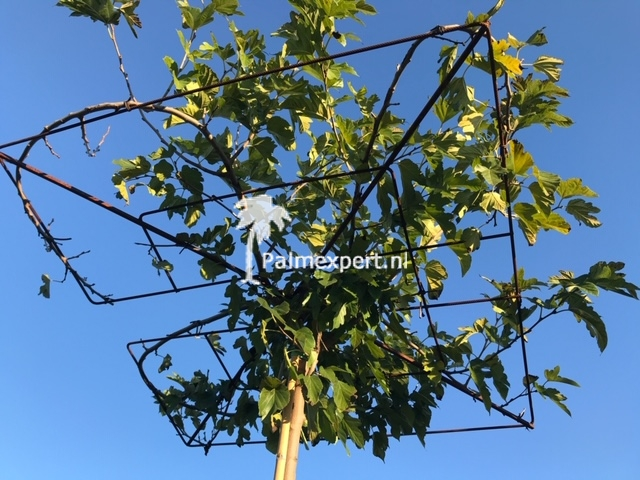 Morus platanifolia fruitless dakbomen ( dakmoerbei )