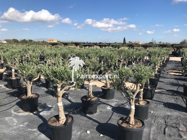 Olijfboom 20/30 cm stamomtrek, lage stam