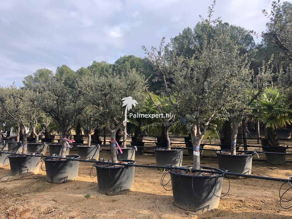 Steeneik 25/30 Rotundifolia halfstam