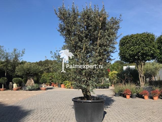 Steeneik 60/80 Rotundifolia meerstammig