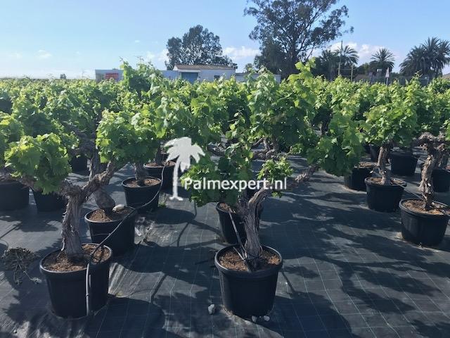 Druif op stam / Vitis vinifera
