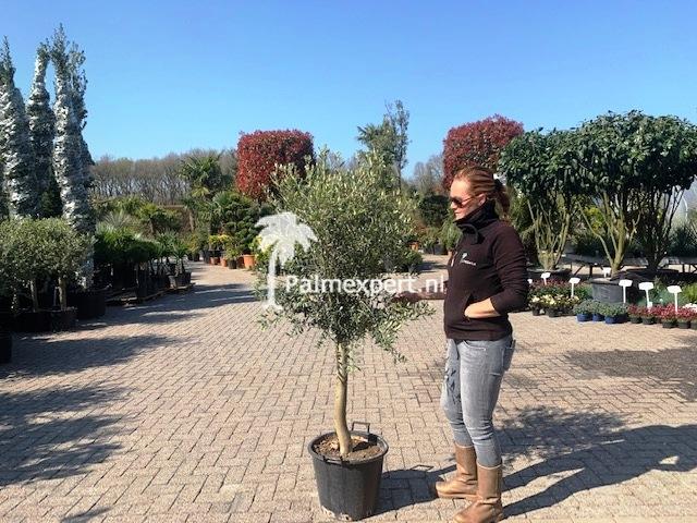 Olijfboom 18-20 cm stamomtrek  vertakt laag.