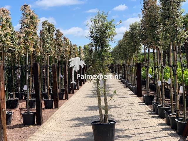 Quercus suber / Kurkeik meerstammig