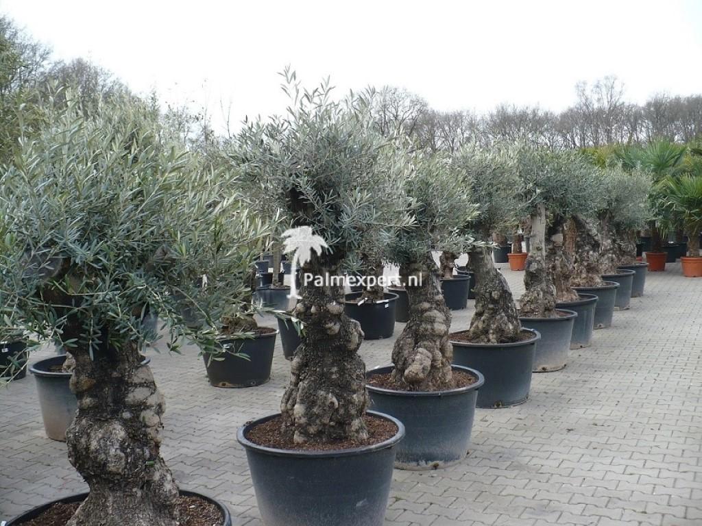 Olijfboom  60/80 cm stamomtrek mini bonsai.
