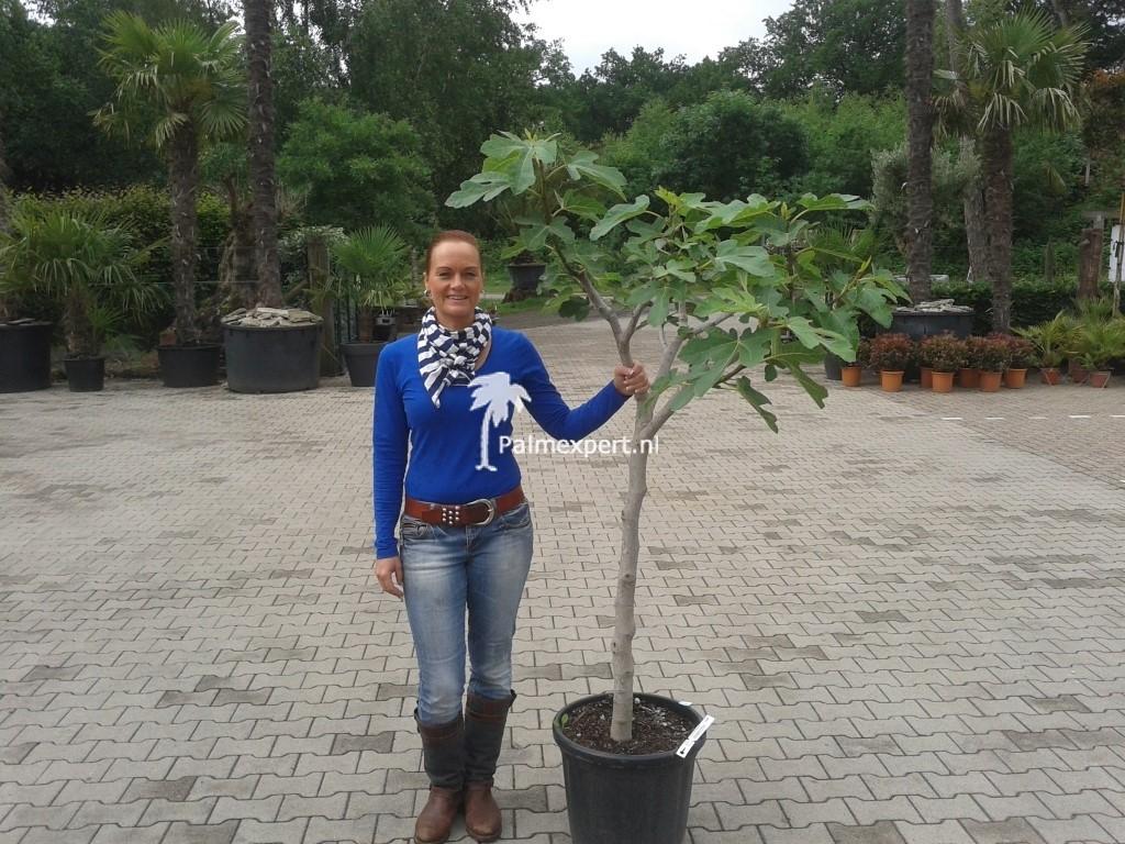 Vijgenboom 12/14 cm stamomtrek (Ficus carica)