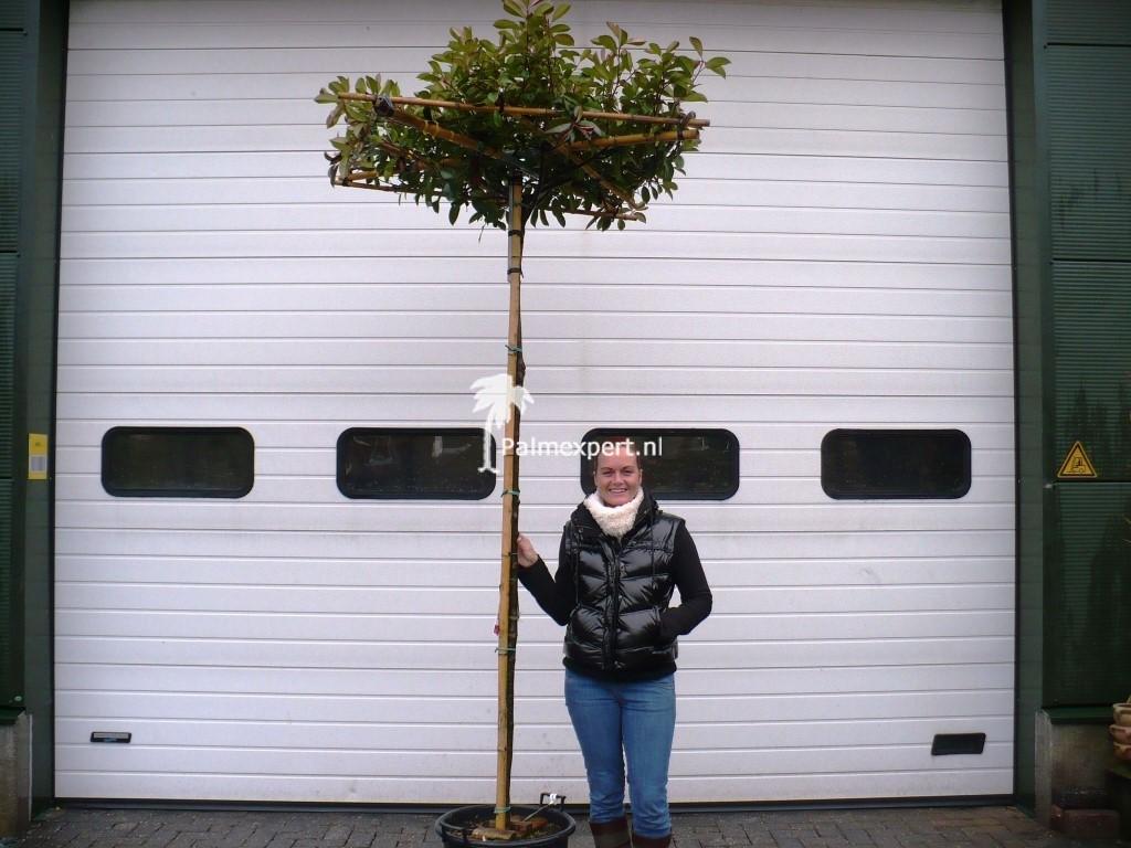 Photinia fraseri wintergroene Dakboom op stam (Glansmispel)