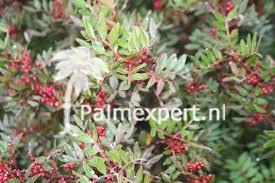 Pistacia lentiscus (Mastiekboom)