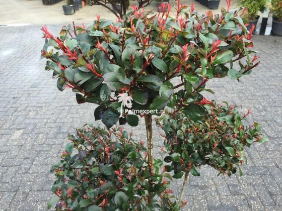 Photinia fraseri compacta Little Red Robin