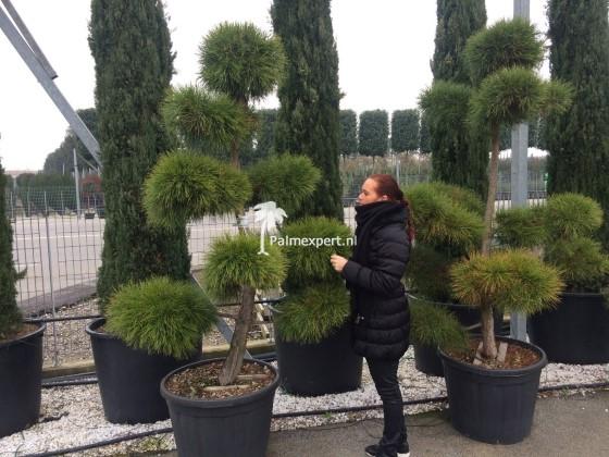 Pinus sylvestris bonsai / tuinbonsai