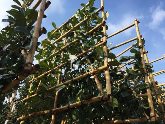 Prunus laurocerasus Novita  wintergroene leiboom / scherm op stam
