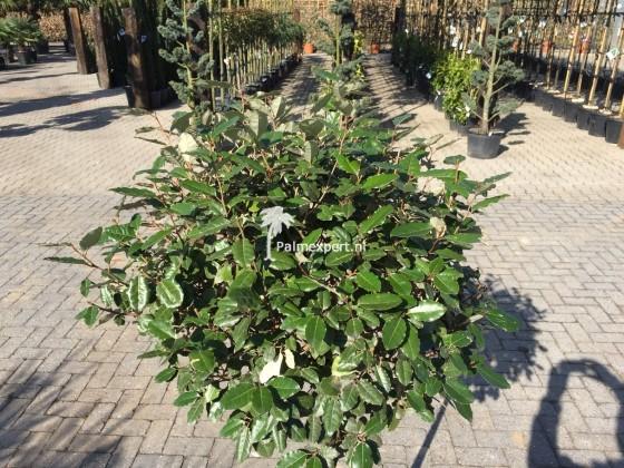 Elaeagnus ebbingei bol op stam ( olijfwilg )