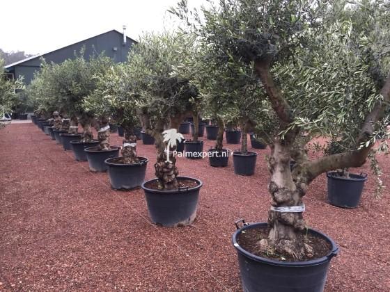 Olijfboom 60/80 Lechin, de meest winterharde variëteit olijfboom.