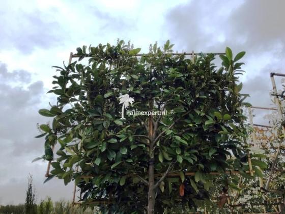 Prunus laurocerasus Caucasica wintergroene leiboom / scherm op stam