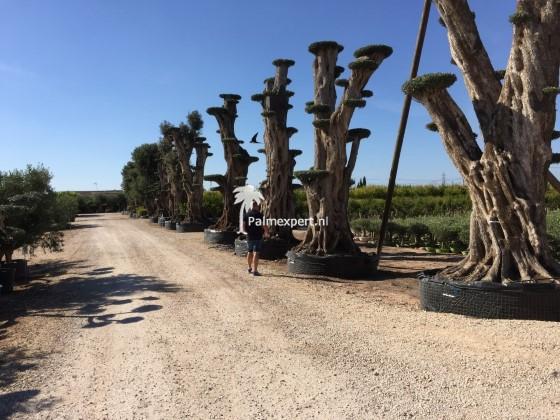 Olijfboom mega bonsai 5-8 meter