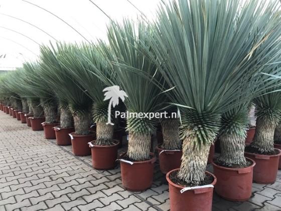 Yucca rostrata 40/50 cm stam