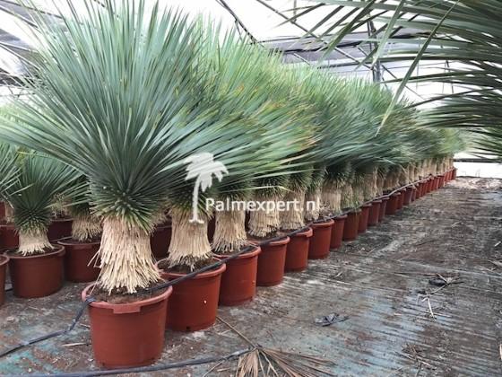 Yucca rostrata 50/60 cm stam.