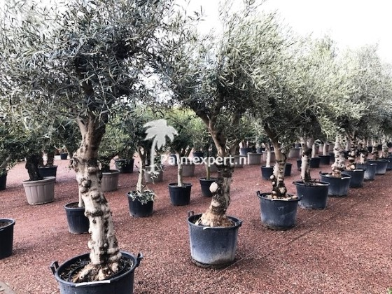Olijfboom 50/60 cm stamomtrek hoog