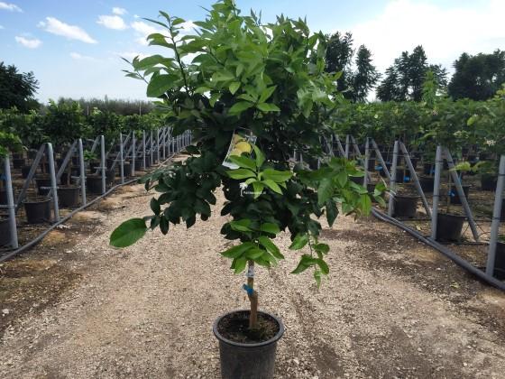 Citrus limon / Citrus limonia ( citroenboom )