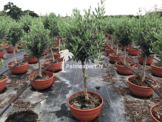 Olijfboompje op stam in decopot